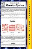 Muscular System (Blokehead Easy Study Guide)