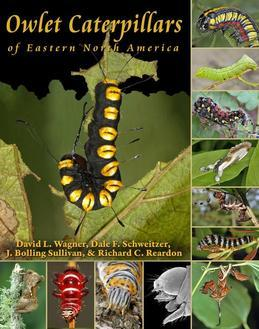 Owlet Caterpillars of Eastern North America