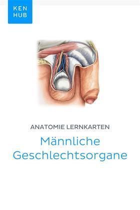 Anatomie Lernkarten: Männliche Geschlechtsorgane