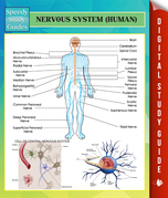 Nervous System (Human) Speedy Study Guides