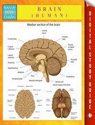 Brain (Human)