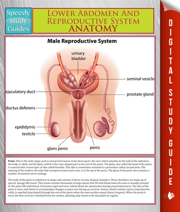Lower Abdomen And Reproductive System Anatomy (Speedy Study Guide)
