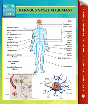 Nervous System (Human) Speedy Study Guides