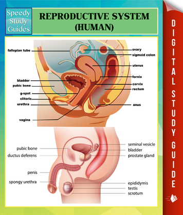 Reproductive System (Human) Speedy Study Guides